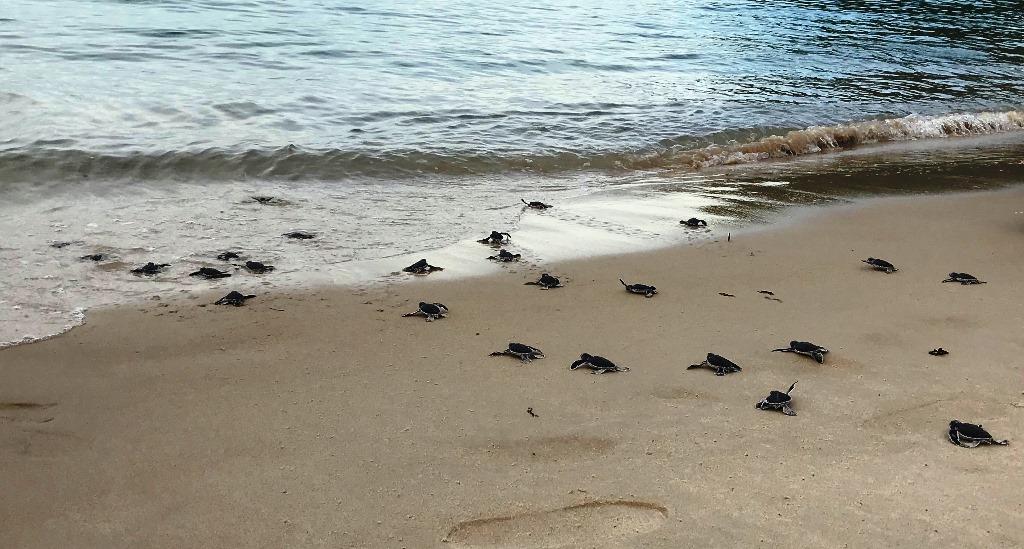 Rùa biển Côn Đảo